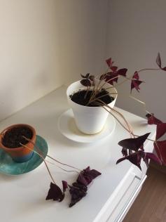 Num processo lento e nem tão bonito de recuperação as folhas mais velhas vão se desvinculando (literalmenteee, ela se solta sozinha) e aí é hora de dar espaço pro novo