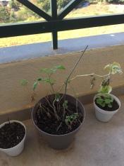 O tomate que eu insisto em tentar plantar, mas sempre fica doente e morre. To tentando mais uma vez, ele já está com uma carinha melhor agora =)