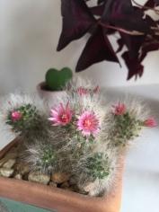 Esse cactinho é só amor e flor, várias vezes ao longo do ano.
